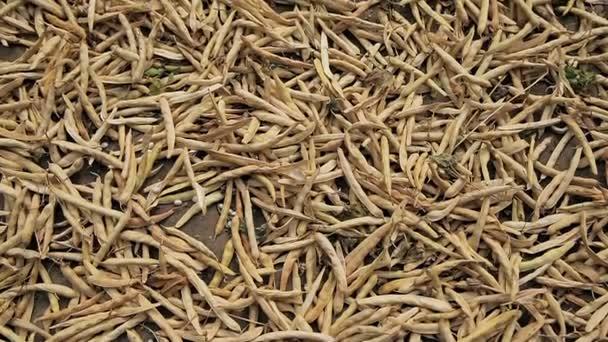 die getrockneten Schoten der Sojabohne