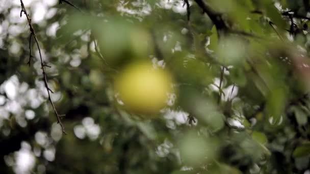 Větev dvě jablka