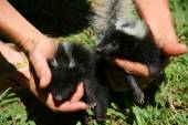 Fotografie person petting  skunk
