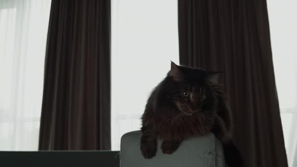 Eine schöne Maine Coon Katze sitzt auf der Couch und schaut sich um. Zeitlupe