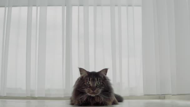 Eine große schöne Maine Coon-Katze schaut vorsichtig in die Kamera und will angreifen. Zeitlupe!