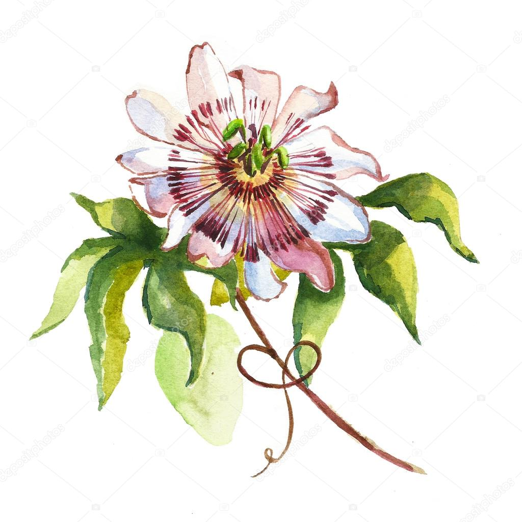Watercolor flower passiflora