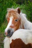 Fotografie Ponys-familiy