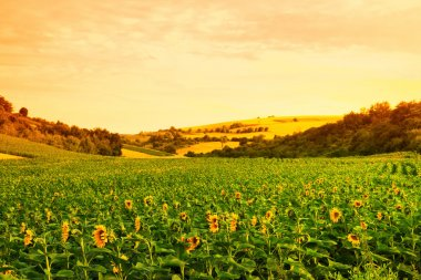 Fields with sunflowers and wheat