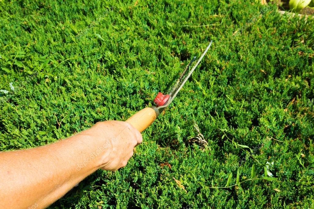 Hands Of Woman Uses Gardening Tool To Trim Hedge, Pruning Bushes With Garden  Shears, Seasonal Trimmed Bushes. U2014 Photo By SimeonDonov
