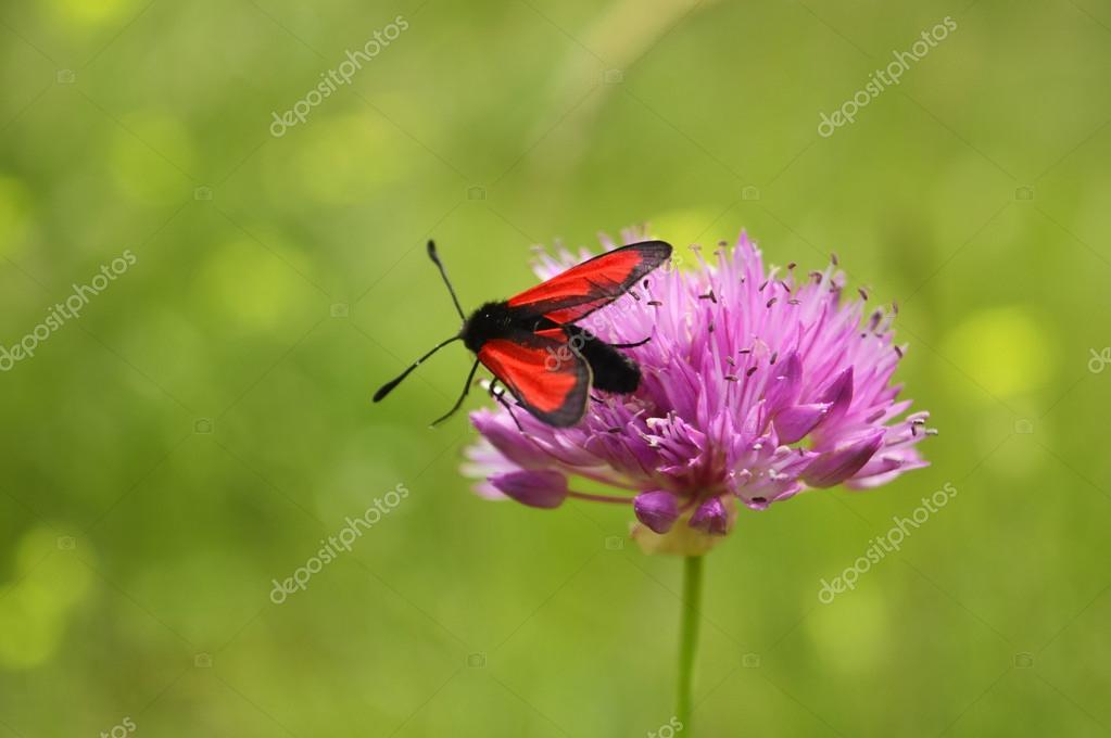 Rote Motte — Stockfoto © Roman_Gilmanov #69468205