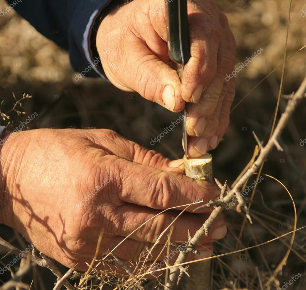 grafting a fruit tree with old hardworking hands