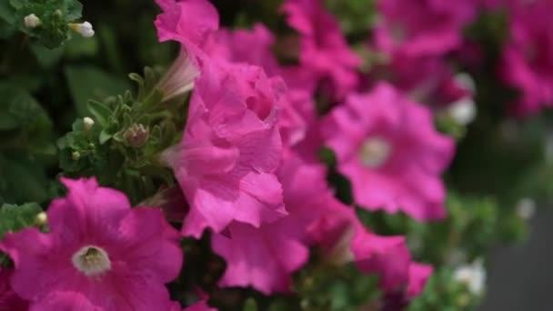 Violet purple pink flowers outdoors petunia