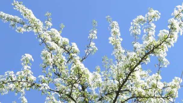 Kvetoucí větve jabloní na jaře proti obloze
