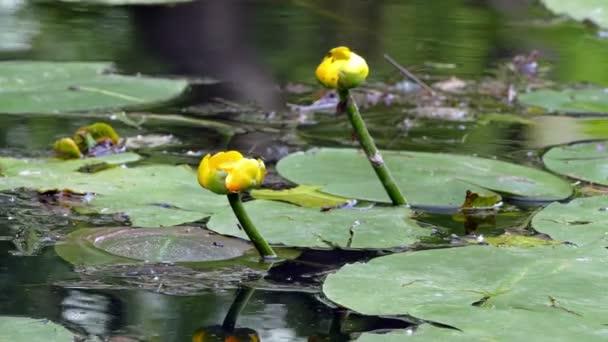 Sárga liliom, a tóban