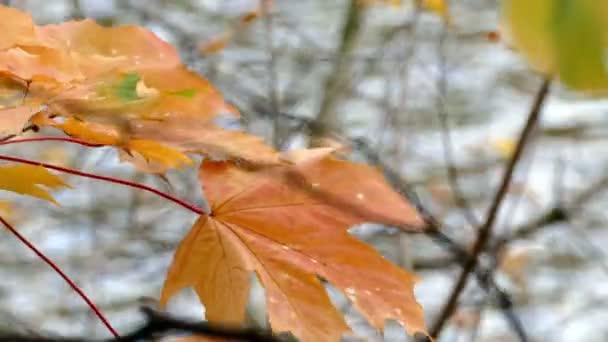 Foglie di acero giallo autunno