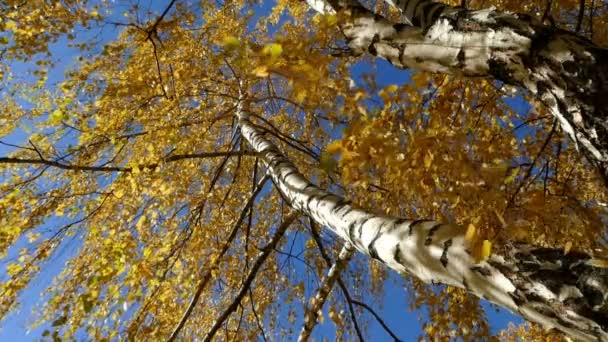 Birch Autumn With Yellow Leaves