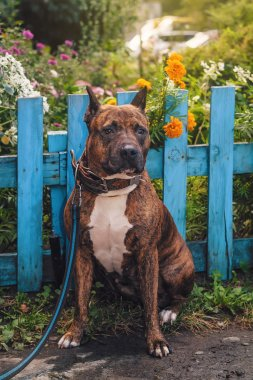 American Staffordshire terrier sitting in front of a blue wooden fence