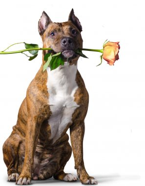 American Staffordshire Terrier with a yellow-orange rose in the mouth.