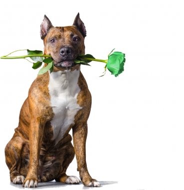 Rad striped dog with a green rose