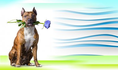 Abstract striped background with American Staffordshire Terrier with a light-blue rose
