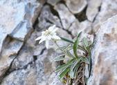 Edelweiß (leontopodium alpinum))