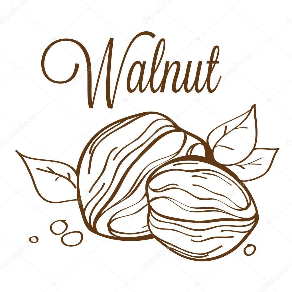 Hand drawn vector walnut01