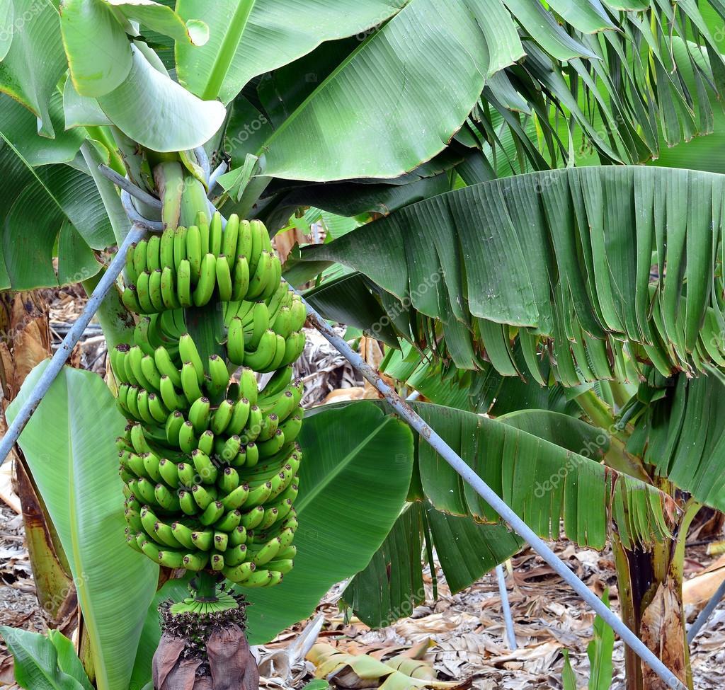 Piantagione di banane su tenerife isole canarie spagna for Albero di banane