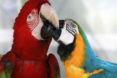 dva papoušci