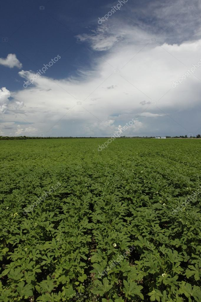 Healthy okra field