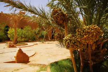 A beautiful moroccan garden with date palm trees with bunch of riping datel fruit, glowing sand surface and brickety ancient walls in background