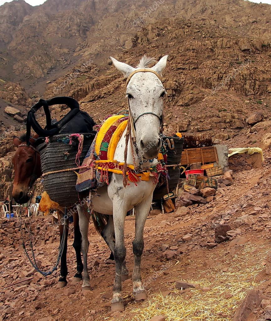 A pair of moroccan donkeys of white and braun resting with their carriage on the adventurous journey in rocky   desert mountains, having their heads turned to the observer,