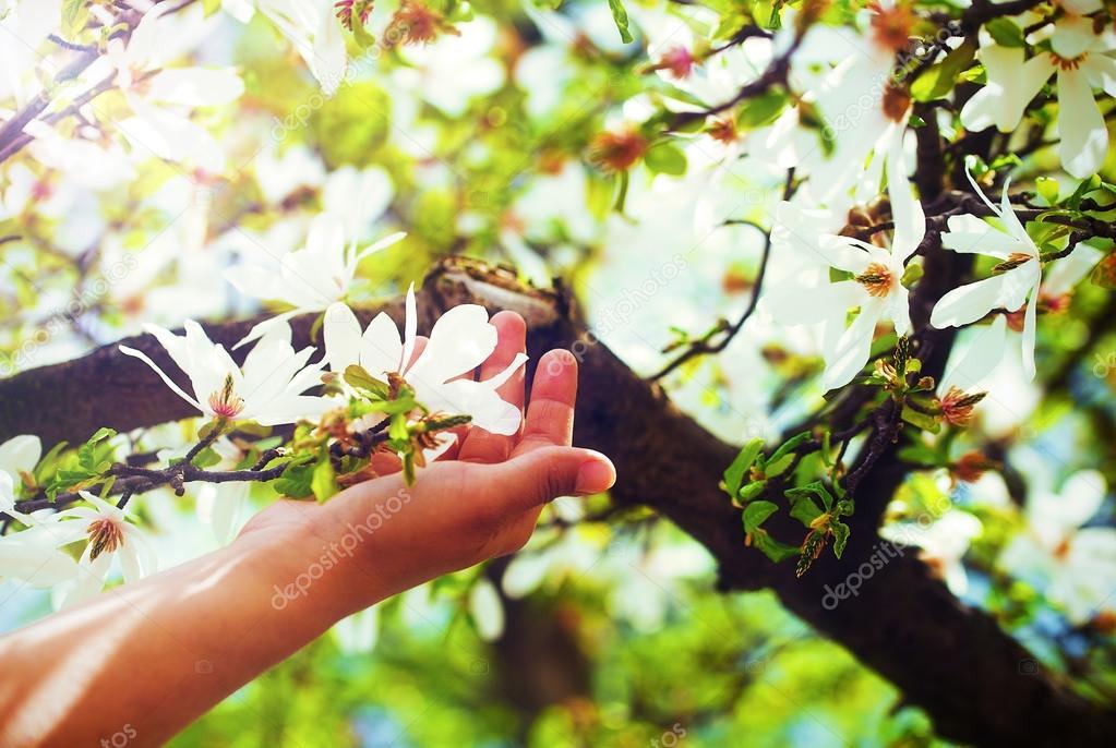 78756319fb8 Λατρεύοντας τα λουλούδια άνοιξη magnolia σε ένα δέντρο, στο φως του ...