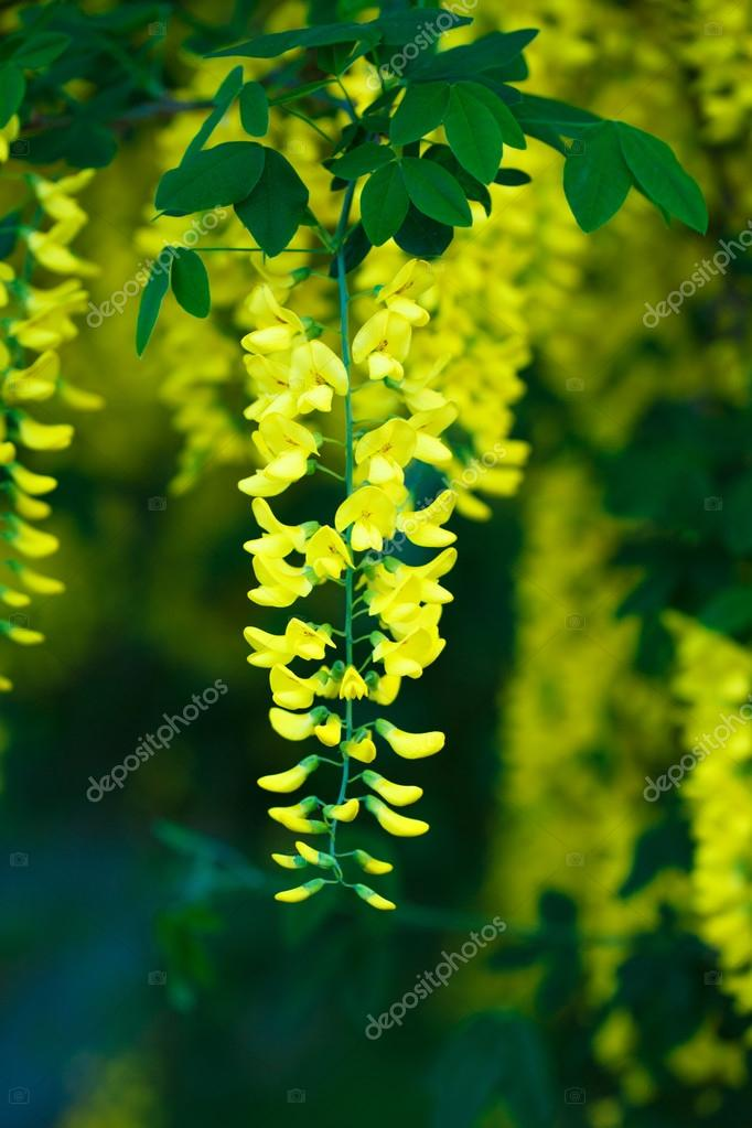 Yellow flowers in full bloom, flover background, Golden Shower Tree in summer.