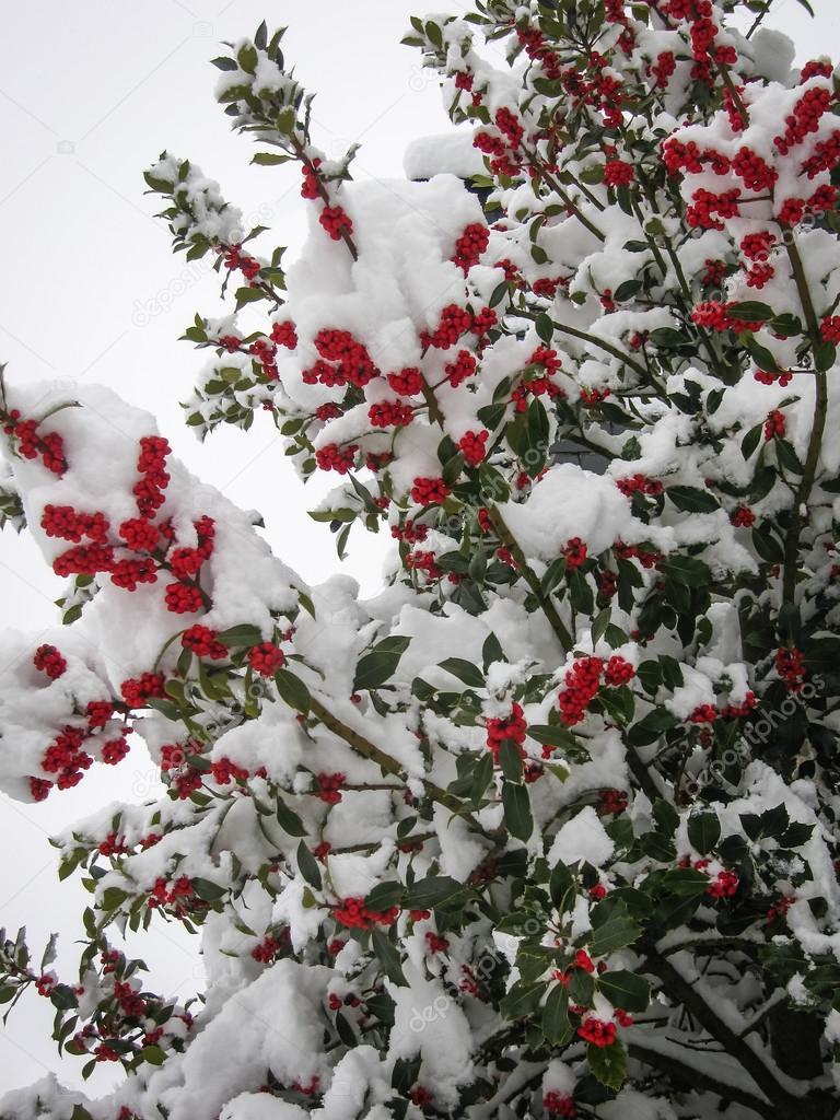 Winter berries in Puebla de Sanabria