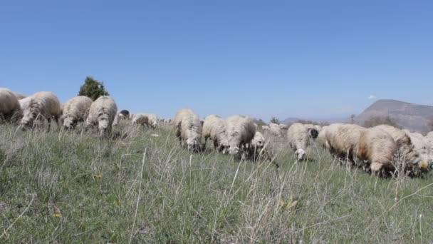 Schafe im Grünland