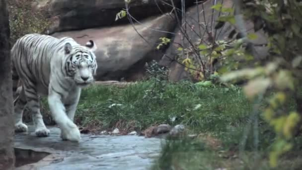 Fehér tigris van egy séta