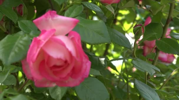 4K-Video Nahaufnahme einer leuchtend rosa Rosenblüte im Garten. Schöne zarte Pflanze Hintergrund mit grünen Blättern. Natürliches Schönheitskonzept im Frühling