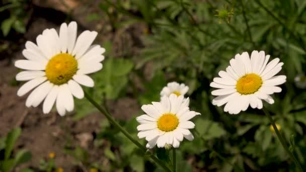 4K videó fehér százszorszép virágról zöld levelekkel. Kamillanövények háttere a vadonban. Természetes szépség tavasszal