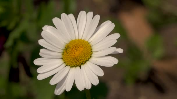 4K video of white daisy flower with green leafs. Chamomile plants background in the wild. Natural beauty in spring