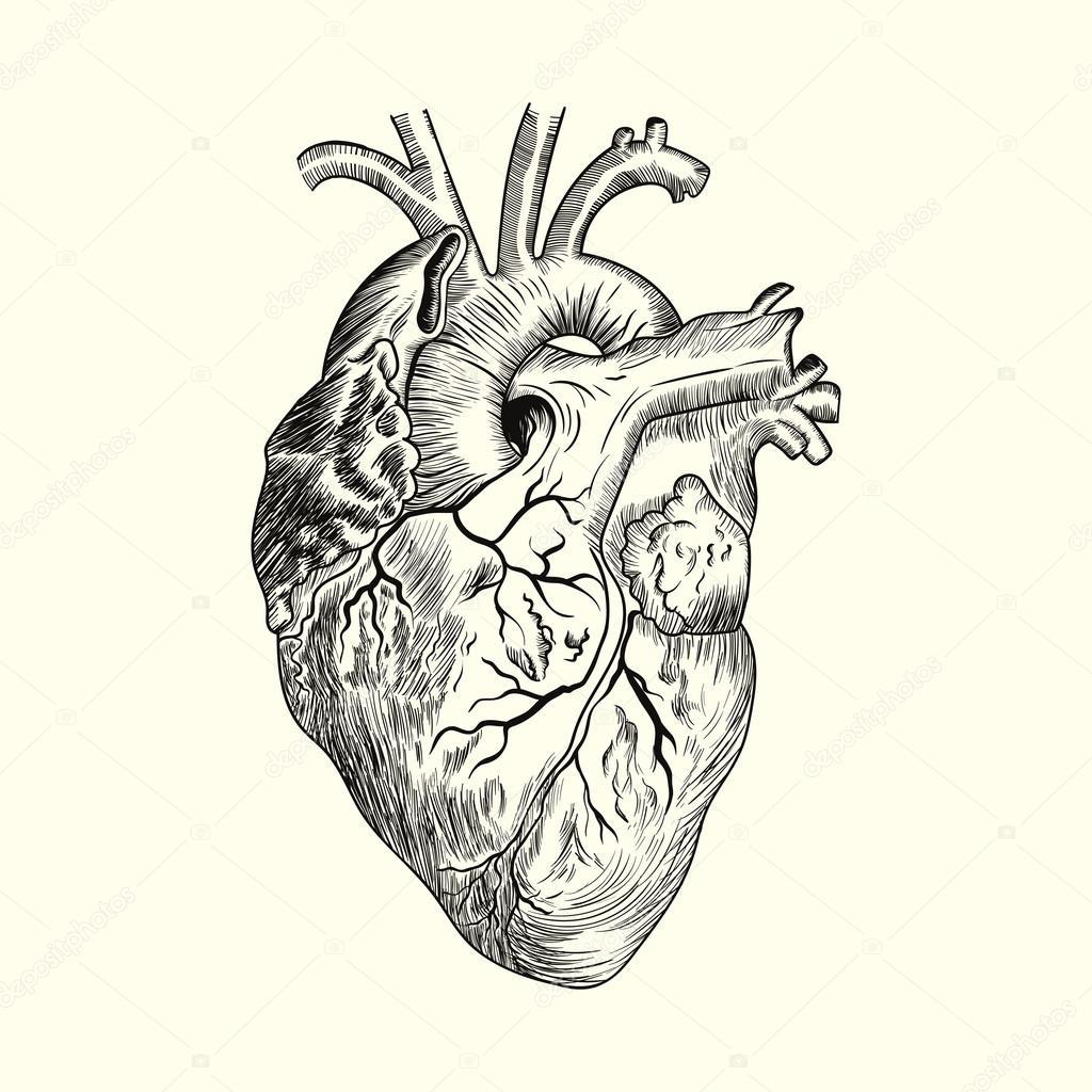 Corazón Humano Dibujo Archivo Imágenes Vectoriales Ipanki 64059849