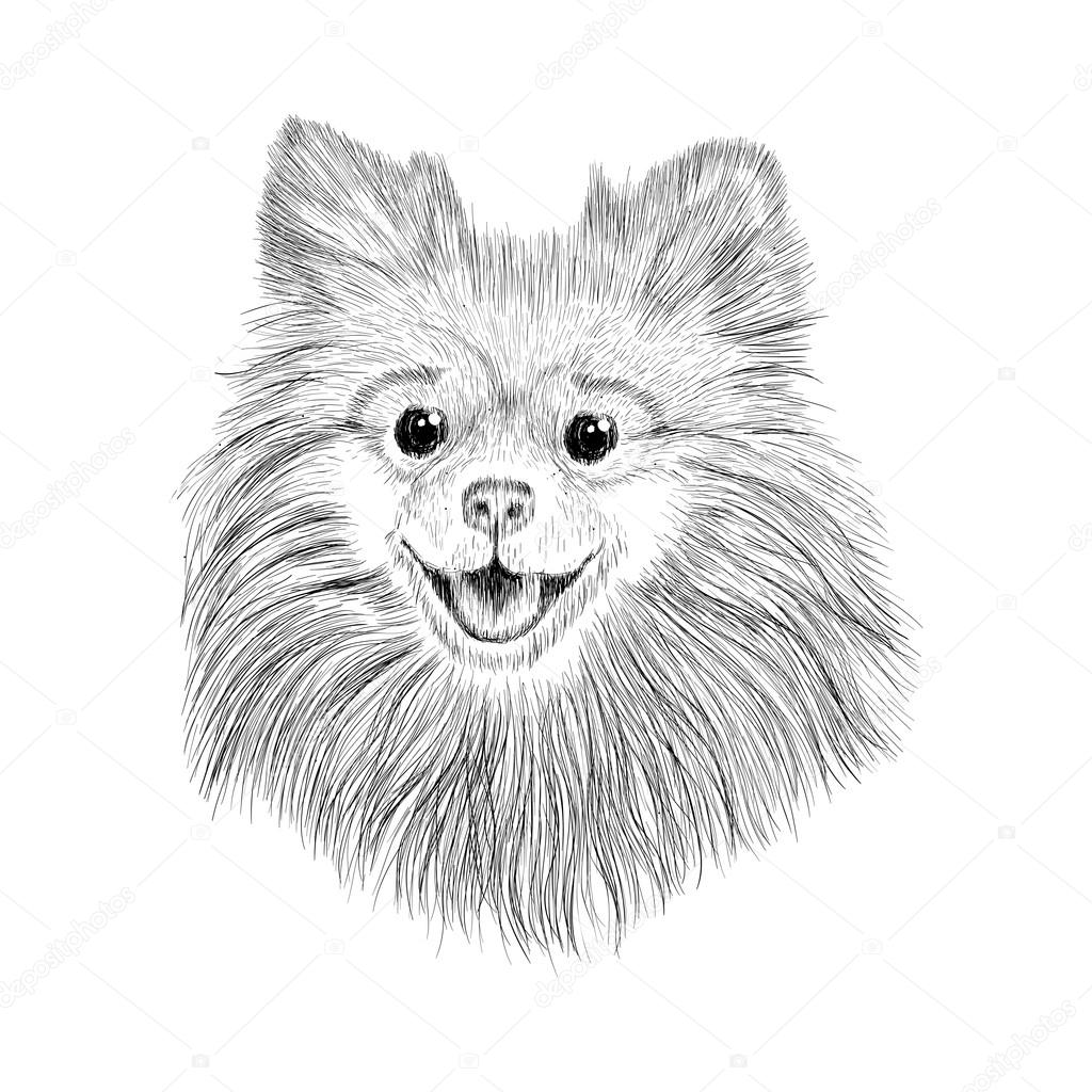 Sketch Spitz Hand Drawn Face Of Dog Vector Illustration Stock