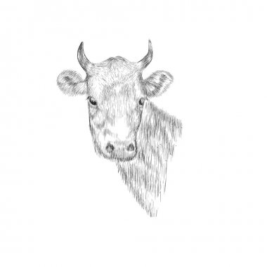 Sketch Head of a cow.