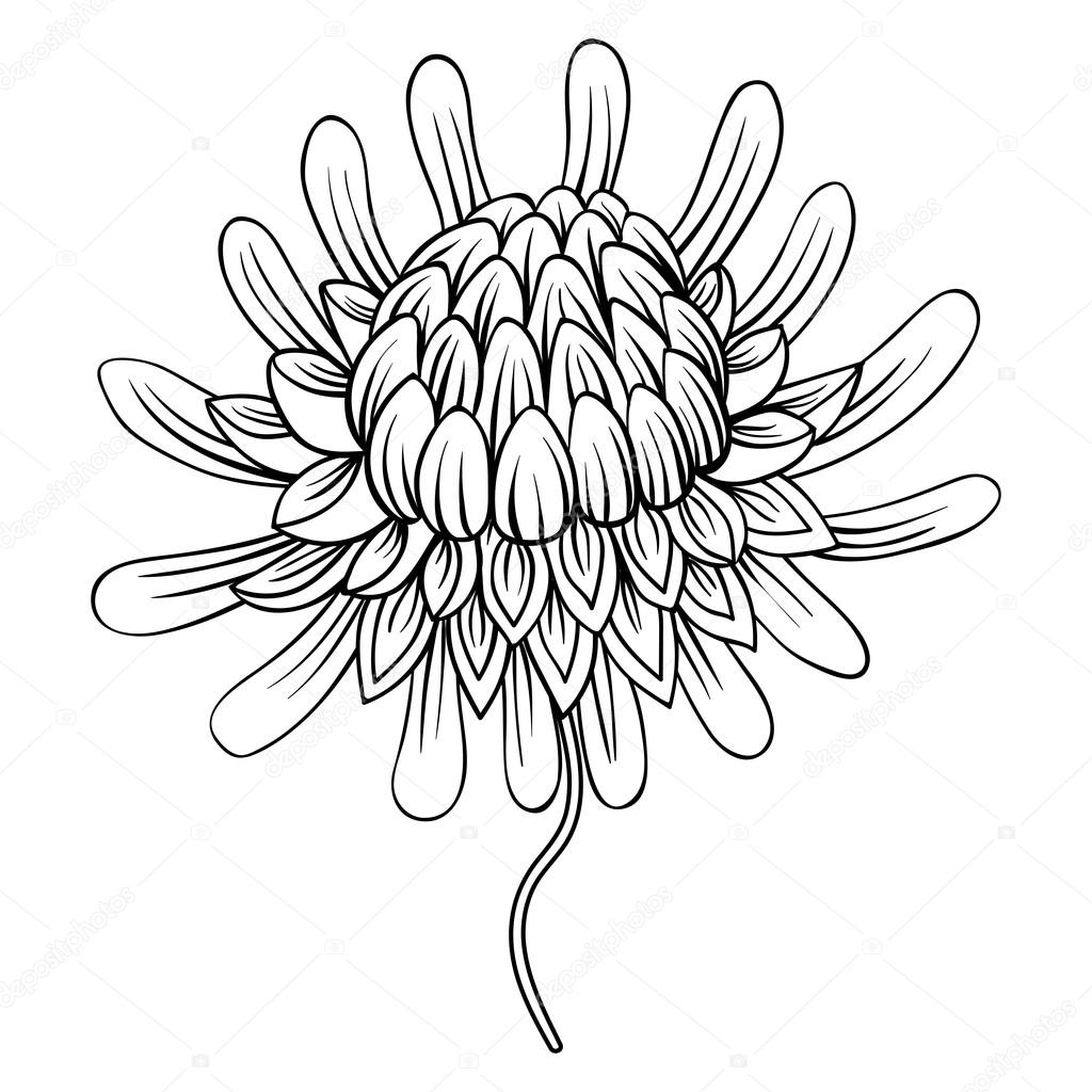 Protea Flower Drawing Sketch Coloring Page