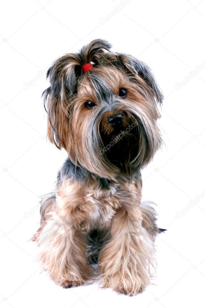 породистая собака