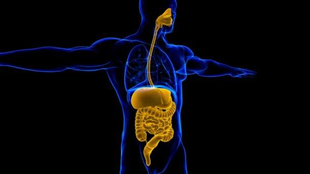 Anatomie lidského zažívacího ústrojí pro 3D lékařskou koncepci