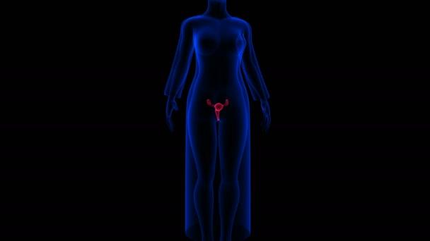 Samičí reprodukční systém je navržen tak, aby vykonával několik funkcí. Produkuje ženské vajíčka potřebné pro reprodukci.