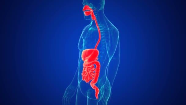 Lidský trávicí ústrojí se skládá z trávicího ústrojí a doplňkových orgánů trávení (jazyk, slinné žlázy, slinivka břišní, játra a žlučník)