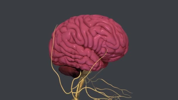 The brain is one of the largest and most complex organs in the human body. It is made up of more than 100 billion nerves, A brain is an organ that serves as the center of the nervous system
