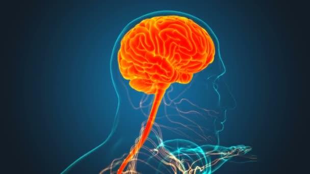 Human Brain Anatomy For Medical Concept 3D Illustration