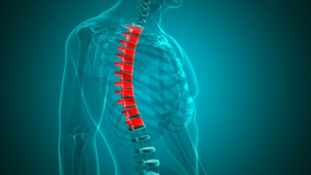 Human Skeleton Vertebral Column Thoracic Vertebrae Anatomy Loopable 3D Illustration For Medical Concept