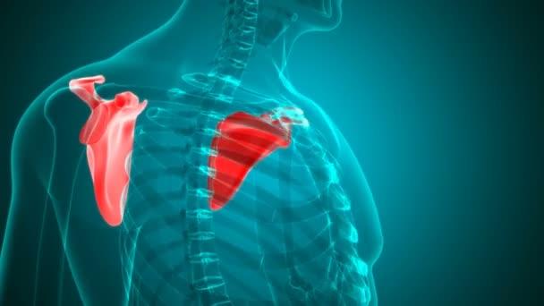 Human skeleton Scapula Bone Anatomy Loopable 3D Illustration For Medical Concept