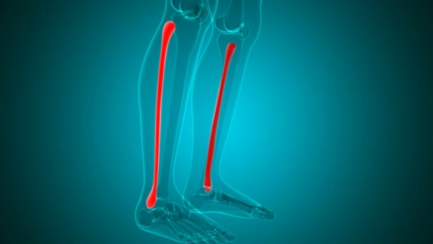 Human skeleton Fibula Bone Anatomy Loopable 3D Illustration For Medical Concept