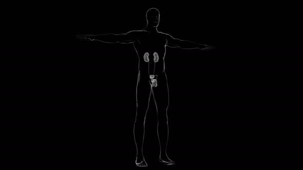 Mužská reprodukční systém anatomie pro lékařské koncepce 3D ilustrace