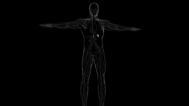 Lidské lymfatické uzliny anatomie pro lékařské koncepce 3D ilustrace